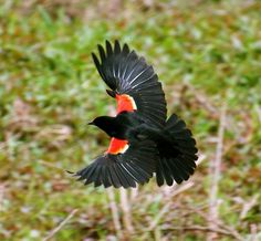 """Red Wing Blackbird. These birds don't come to our yard, but are seen in the fields. I've always considered the red-winged blackbird to be """"my"""" bird since I did a poster and project on them when I was in Mrs. Pruden's fifth grade class almost sixty years ago."""