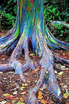 All about growing rainbow eucalyptus trees. Can I grow a rainbow tree in a container? Can I grow a rainbow tree as a bonsai? We answer all of your questions. All Nature, Nature Tree, Amazing Nature, Rainbow Eucalyptus Tree, Weird Trees, Manzanita Tree, Unique Trees, Colorful Trees, Magical Tree
