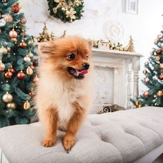 Small funny pomeranian dog plaing at sofa on Christmas tree🎁🎁🎁  Posted by : @friendlypomeranian  Follow me to see more nice picture 😜  Thank you so much ☝️👌☝️👌 Tag someone who you'd want to share this photo with Beautiful 💜💌😚  All about Pomeranian Dogs for dog lovers.  @friendlypomeranian  👥 ⤵ Double tap & tag your friend Love it 😉  ❤❤❤  ❤❤❤  ❤❤❤  #Pom #baby #pomeranianspitz #pomstagram #pomeranianlife #pomeranianlovers #puppy #puppylove #puppydog #dogs #dog #dogdaily…
