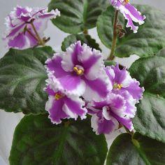 Myrthe, цветение моего стартера