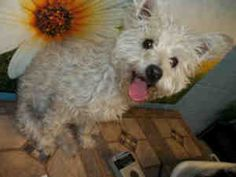 Coconut is an adoptable West Highland White Terrier Westie Dog in Bakersfield, CA. Coconut is an adorable little 8 month old, 10lb Westiepoo pup who was rescued from animal control when she was brough...