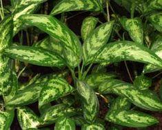 Plantas de interior Aglaonema 4