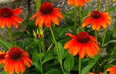 Echinacea purpurea Flamenco
