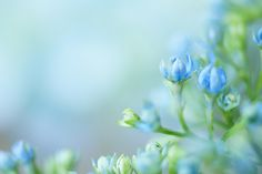 Hydrangea by Sa, via Flickr