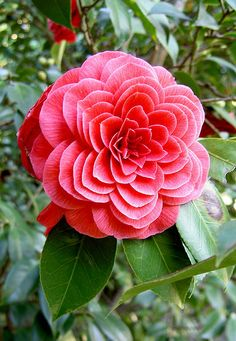 "Camelia Symmetry by robbiesydney on Flickr. ""Red Camelia with a symmetrical petals arrangements."""