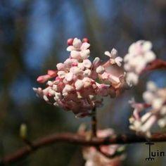 Viburnum x bodnantense Sneeuwbal. Bloeit in winter. Makkelijke plant