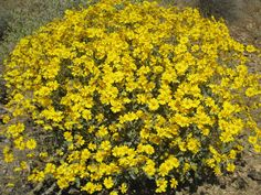 Image result for sonoran desert bushes of yellow flowers
