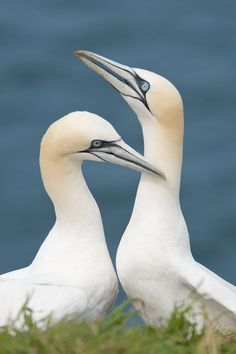 Courting Gannets by Richard ...So George, you got me all the way out here. Where's that Fairytale Brownie you promised me?