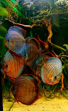 Discus fish are cool.