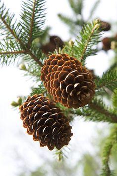 Scent of pine cones