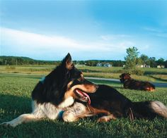 Read guard dog training tips and advice on guard dog breeds best suited for your needs.