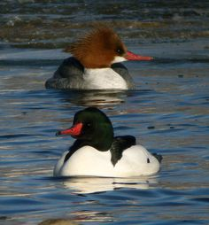 Common Merganser. Flock on the lake getting ready for spring.