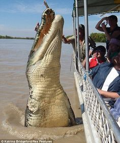 Brutus, the 5.5-metre crocodile who is believed to be 80 years old and is missing his fron...