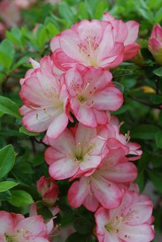 Azalea--colors are so soft and pretty