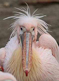 Rose pelican at Ouwehand Zoo in Utrecht, The Netherlands - photo by j.kok, via Flick The Animals, Pink Animals, Unusual Animals, Weird Birds, Funny Birds, Rare Birds, Pretty Birds, Beautiful Birds, Animals Beautiful