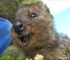 Say cheese Quokka. Oh your smile is so heavenly and cute. Happy Animals, Animals And Pets, Funny Animals, Cute Animals, Smiling Animals, Beautiful Creatures, Animals Beautiful, Quokka Animal, Science Cat