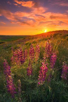 Lupine rays - Lupine flowers backlitting during sunset. Palouse, Washington.