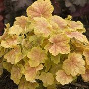 The 'Tiramisu' Heuchera It is more tolerant of heat and humidity and that are more vigorously growing with larger leaves and new foliage colors. This variety is one of his more colorful and unique creations. In the spring and fall, the leaves are a somewhat subdued chartreuse with brick-red shading and darker veining over the majority of the leaf. In the summer its leaves will lighten considerably, fading to a cheery yellowy-green with a rosy blush, but with the same distinctive lacy…