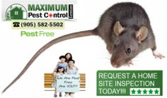 http://ift.tt/1HTKoXB  Professional Rodent Extermination http://ift.tt/1eIZPl4 The Best In-town For Homes & Businesses Mice & Rats Rodent Control Service (905) 582 5502 or (289) 396 5426.  Mice Home Control Exterminator  After a really harsh cold winter season various types of pests including rodents could have found warmth and shelter in our homes and places of business. Because these destructive creatures breed so quickly within little time you will find yourself with a serious rodent…
