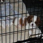 Cavalier King Charles Spaniel Puppies for sale at Adorme Cavaliers, CKCSC Champions and AKC Champion Cavalier King Charles Spaniels