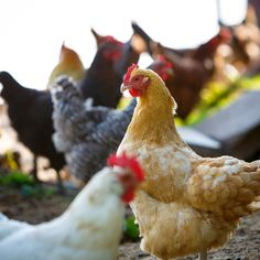 Daily Dose - July 17, 2015 - Chicken Chat   2015©Barbara O'Brien Photography