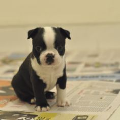 Boston terrier... I love these guys :D Never been without one since I was born. Such good dogs!