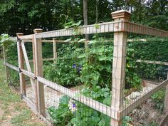 This garden has tomatoes, eggplant, herbs, beans, squash and two varieties of morning glories on the fence.