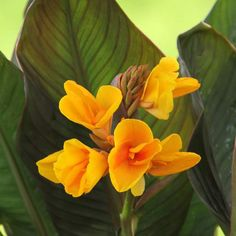 Canna Chocolate Sunrise. A new introduction bred for outstanding health and vigor. This canna has beautiful, dark burgundy foliage and unique, mango-colored flowers.