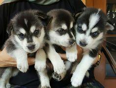 My siberian husky puppies