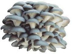oyster mushroom - istiridye mantarı