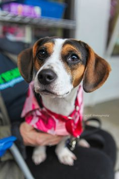 Yesterday, I had the pleasure of spending a few hours with Atlanta Beagle Rescue . I reached out to them when I moved back to Atlanta last summer. Beagle Rescue, Atlanta, Blog, Photography, Animals, Photograph, Animaux, Photography Business, Photoshoot