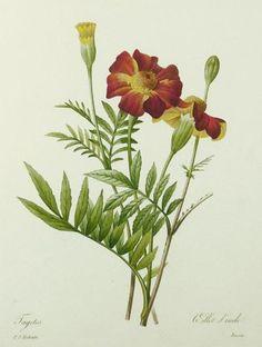 Oeillet d'Inde, Pierre-Joseph Redouté
