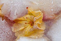 Flower. Ice World. Instant Download . PictureBCN . por PictureBCN