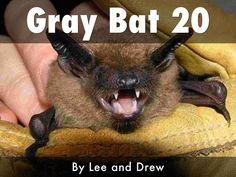Gray Bat 2o