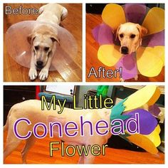 Turn your dog's cone into a flower. Way cuter!