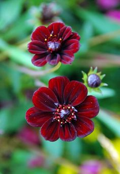 CHOCOLATE COSMOS- Originating from Mexico, where it is considered extinct in the wild, it survives only as an ornamental plant. Very sensitive to cold temperatures, the dark reddish brown colored flower can be admired only in temperate and tropical zones.