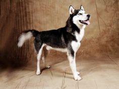 Champion Sired Husky Pups!!!