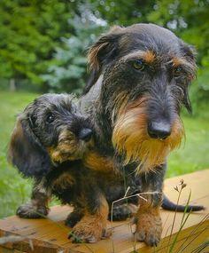 The Diverse Dachshund Breed - Champion Dogs Dachshund Breed, Dachshund Funny, Long Haired Dachshund, Dachshund Love, Daschund, Fox Terriers, Best Apartment Dogs, Weenie Dogs, Doggies