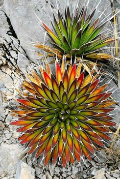 Succulent Gardening ~ by Kelly Griffin (Agave, Mescal Pelon (<i>Agave pelona</i>)) Unusual Plants, Rare Plants, Cool Plants, Cacti And Succulents, Planting Succulents, Planting Flowers, Succulent Arrangements, Agaves, Exotic Flowers