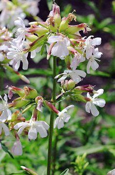 http://theherbgardener.blogspot.com/2010/03/growing-soapwort-saponaria-officinalis.html