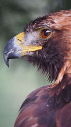Birds of Prey - Raptor - Golden Eagle profile.- title Dignity 3 - by Csaba Kató