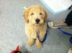 This is Steve! He is a Goldendoodle pup in our class!