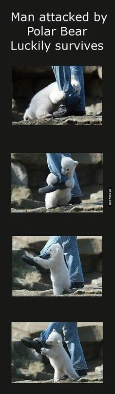 The cutest polar bear attack ever...the only type that would be cute, that is.