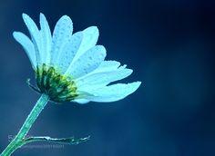 Miss daisy at dawn -