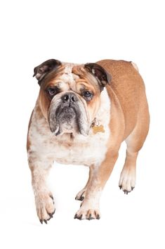 © Alice G Patterson Photography, Handsome-Bulldog, Syracuse-Dog-Studio-Portraits Best Dog Photos, Funny Dog Photos, Puppy Pictures, Funny Dogs, Cute Dogs, English Bulldog Funny, English Bulldogs, Alice, Cartoon Dog