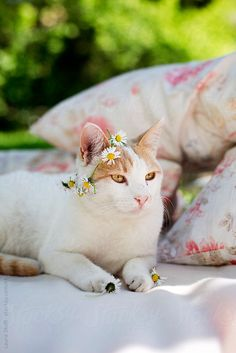 Stocksy United – Royalty-Free Stock Photos – Cat with flower crown on the head by Laura Stolfi. White and ginger cat relaxing on blanket in garden with crown made with tangled daisies