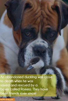 An abandoned duckling was close to death when he was saved and rescued by a boxer called Romeo. They have been friends ever since! - http://factecards.com/abandoned-duckling-close-death-when/