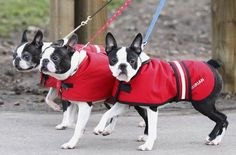 Boston Terriers arrive on the first day of the Crufts dog show at the NEC arena in Birmingham, central England, March Baby Pugs, Baby Puppies, Bulldog Puppies, Boston Terrier Love, Boston Terriers, Terrier Puppies, Worlds Largest Dog, Paws And Claws, Dog Show