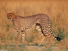 ghepardo unica specie vivente del genere Acinonyx