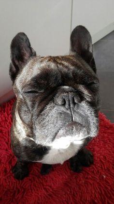 Mila - french bulldog